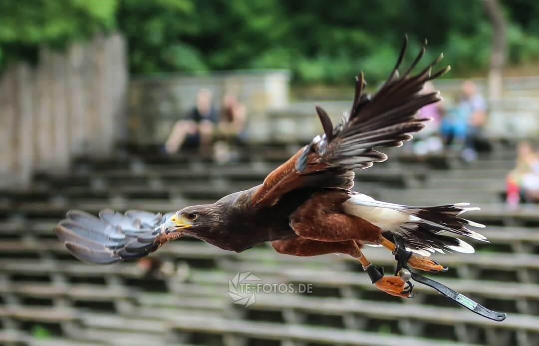 Greifvogel Flugshow im Tierpark Berlin mit Uhu, Bussarden & Weißkopfseeadler